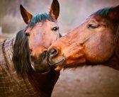 Nadciśnienie płucne groźne dla końskiego serca
