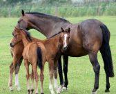 Kiedy konia należy wykluczyć z hodowli (cz.II)