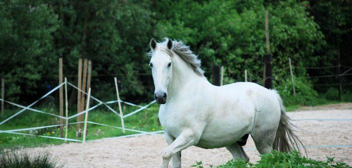 Niewidoczny dla oczu problem otyłych koni – tłuszczaki