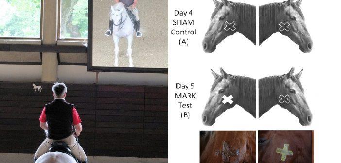 Czy konie są zdolne do samooceny?
