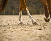 Problemy z mięśniem międzykostnym a budowa koni