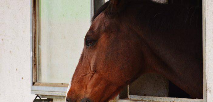 Co jest właściwym wskaźnikiem przewlekłego stresu koni?