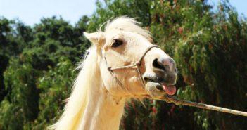 Stres konia w transporcie. Naukowcy mają na niego receptę