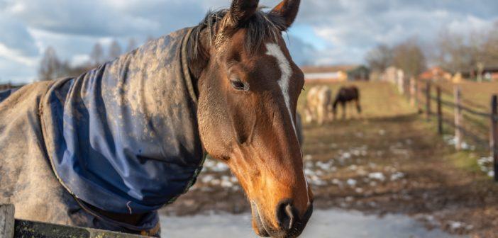 Wielka Brytania na wojnie z zołzami koni