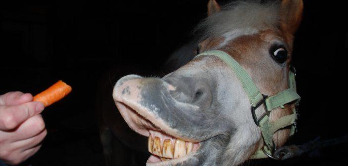 Test marchewki! Sprawdź, czy Twój koń nie cierpi z powodu poważnej choroby zębów!