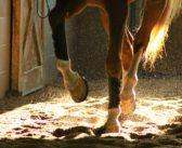 EMA zatwierdziła pierwszy lek dla koni na bazie komórek macierzystych