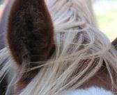 Kontrola antydopingowa: koński włos pomocny w walce o czysty sport