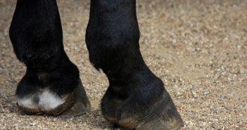 Pierwsza terapia komórkowa dla koni zarejestrowana w Europie