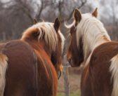 Otyłość u koni? Ryzykowna sprawa